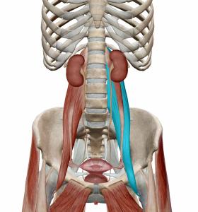腎臓と大腰筋