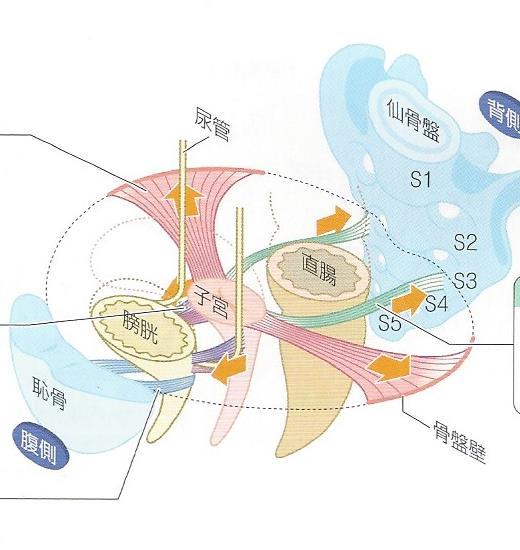 子宮の支持靱帯図 生理痛の説明資料 洲本接骨院 洲本市